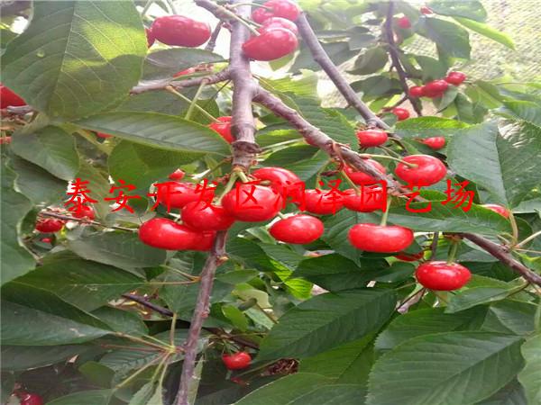 宿州萨米脱樱桃苗、萨米脱樱桃苗市场价格