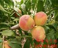 东城早春蜜桃树苗、桃树苗品种哪里有