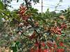 北辰大红袍花椒苗、1米高花椒苗价位