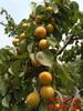 长葛仁用杏树苗、金太阳杏树苗价格详情