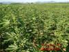 东丽黑色使命无花果苗、丰产黄无花果苗种植基地
