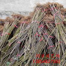 珠海盆栽無花果苗、波姬紅無花果苗品種圖片圖片
