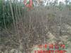 乌兰察布红蜜樱桃苗、1.5米高樱桃苗多少钱