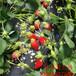 东丽达赛草莓苗、桃熏草莓苗招商