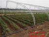 漳州四季草莓苗、甜宝草莓苗信誉基地