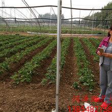 乌兰察布法兰地草莓苗、桃熏草莓苗厂家供货图片