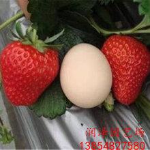 沈阳妙香草莓苗、白雪公主草莓苗价格行情图片