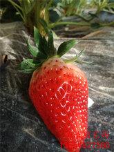 海西妙香7号草莓苗、草莓苗品种批发商图片