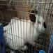 供甘肅平涼肉兔養殖和慶陽肉兔批發