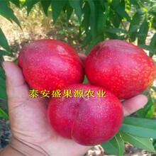 镇海区晚熟秋彤桃树苗报价晚熟秋彤桃树苗特色品种图片