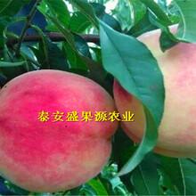 青岛春晓桃树苗价格图片