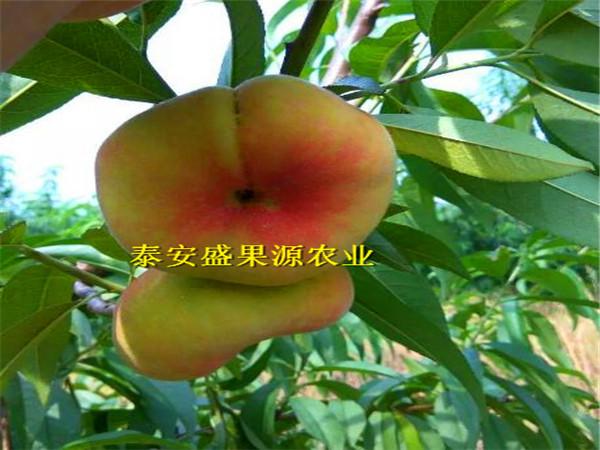青岛春晓桃树苗价格