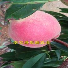 永嘉县现在油桃桃树苗行情图片