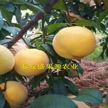 龙马潭区今秋立夏红桃树苗门市价立夏红桃树苗实地拍照图片