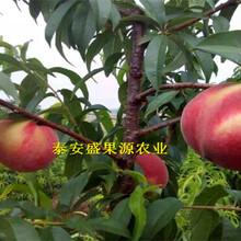 安达今秋晚熟秋彤桃树苗价格晚熟秋彤桃树苗种植技术图片