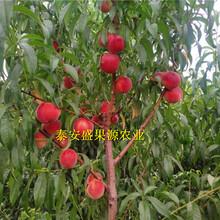 西城区今秋沙子早生桃树种苗供应沙子早生桃树种苗价格公道图片