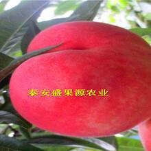 萨嘎县今秋非洲黑桃树苗销售非洲黑桃树苗新型种植图片