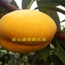 桐梓县现在油蟠7桃树苗供应商图片