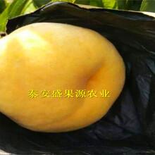 罗田县新加工毛桃核种子基地图片