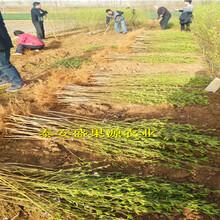 孟连今秋油桃桃树种苗市场价格油桃桃树种苗品种正宗图片