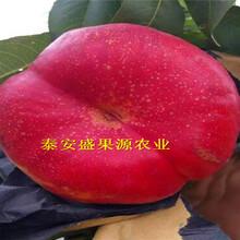 那曲县今秋晚熟冬桃桃树苗供货商晚熟冬桃桃树苗品种正宗图片
