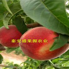 高港区现在黄金冠桃树苗供应图片