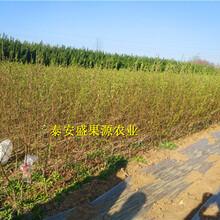 杂多县今秋黄金冠桃树苗市场报价黄金冠桃树苗建园指导图片