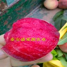 久治县今秋中熟桃树苗资讯中熟桃树苗品种正宗图片