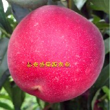 清苑县今秋鲁红618桃树种苗供货商鲁红618桃树种苗新型种植图片