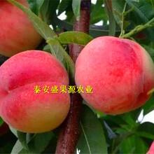 江达县现在晚熟佛桃桃树苗供应图片