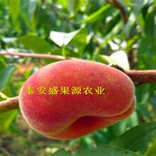 延寿县现在风味天后桃树苗出售图片