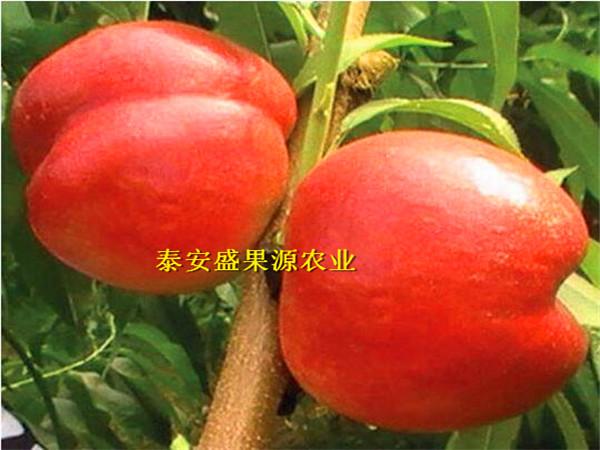 种植步骤德阳晚熟秋彤桃树苗供货商