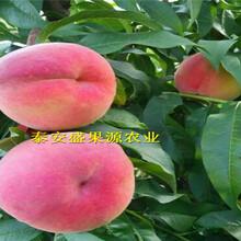 南浔区今秋油蟠7桃树苗哪家买油蟠7桃树苗种植技术图片