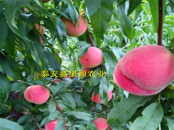 南浔区今秋油蟠7桃树苗哪家买 油蟠7桃树苗种植技术