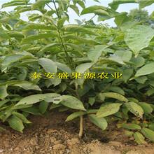 宾阳县新加工毛桃籽种子价格图片