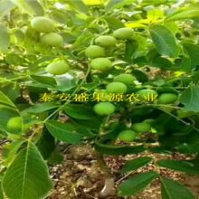 沁源县2018年秋品种核桃苗哪里买品种核桃苗品种正宗图片