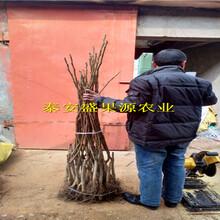新品上市冕宁县嫁接冬雪王桃苗厂家价格图片