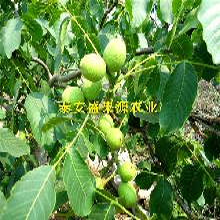 革吉县香椿种苗批发价品种纯度图片