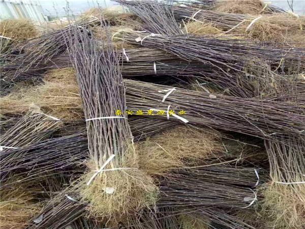 牡丹区今秋冬雪王桃苗多少钱 冬雪王桃苗发展方向