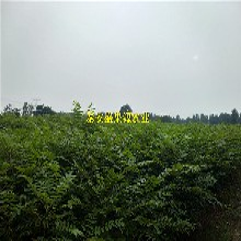 德惠现在大棚用香椿苗供应商图片