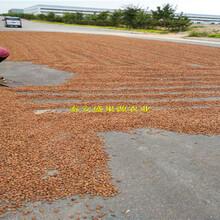 古丈县桃籽批发价格桃树种子厂家供货图片