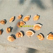 永年县桃籽批发价格毛桃籽种子厂家供货图片