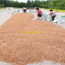 绥棱县桃苗种子批发信息毛桃籽种子的价格图片
