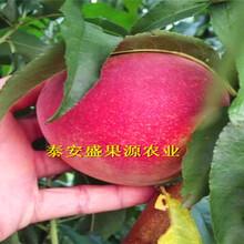 永城哪里有波姬红无花果苗品种纯正图片