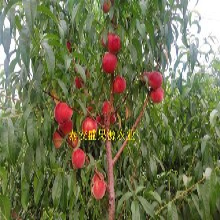 宏伟哪里有秋彤桃树苗品种特点图片