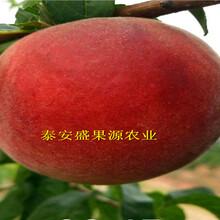 大埔哪里有惊夏桃苗品种特点图片
