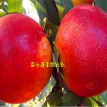 安宁哪里有秋彤桃树苗品种纯正图片