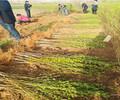 晋州哪里有金霞油蟠桃特色品种