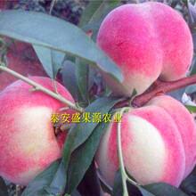 台儿庄哪里有映霜红桃苗种植步骤图片