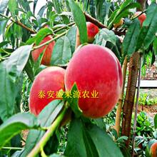 长丰哪里有桃树苗基地价格优势图片